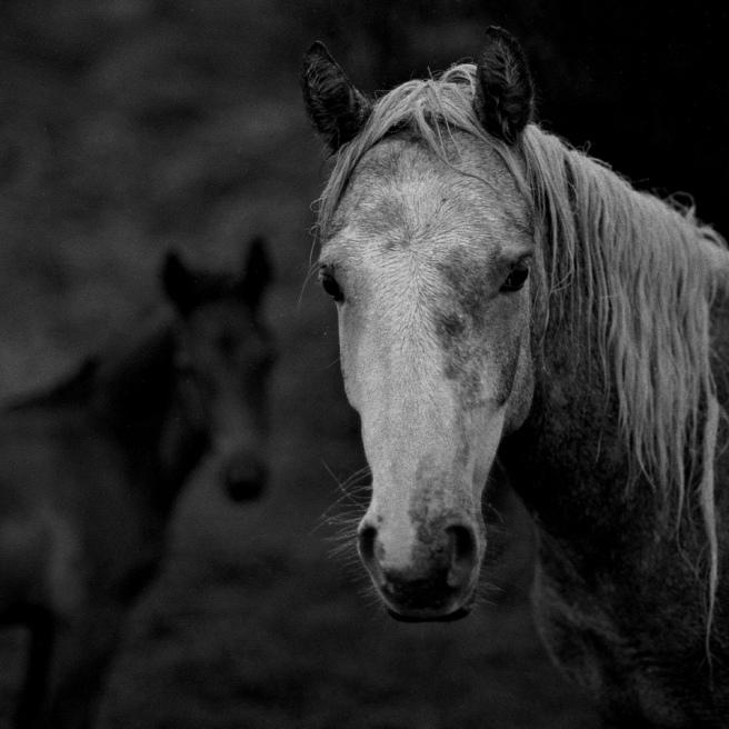 Connemara Horses © Stewart Weir 1998