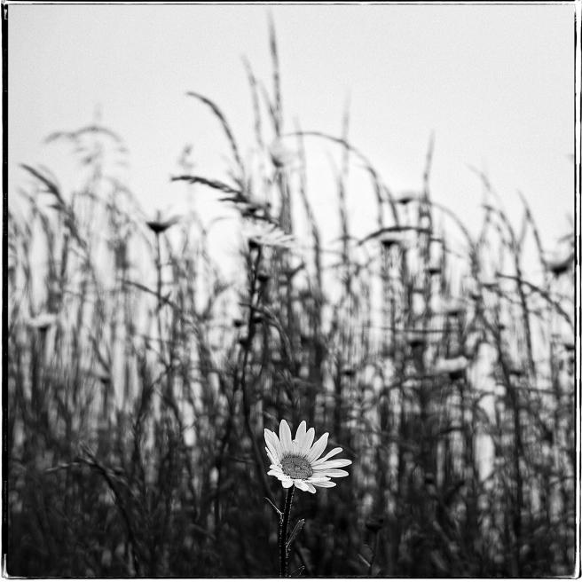 Daisy_355