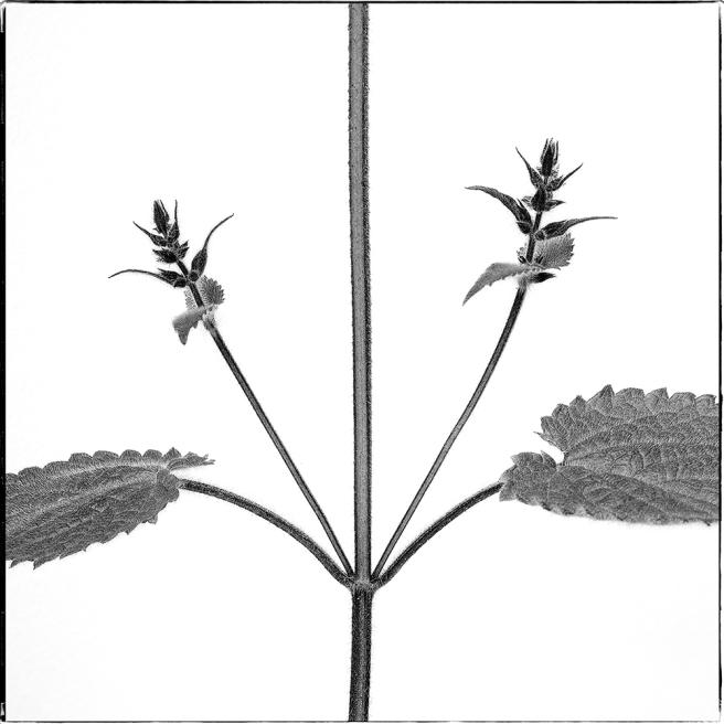 Urtica Duo Flores