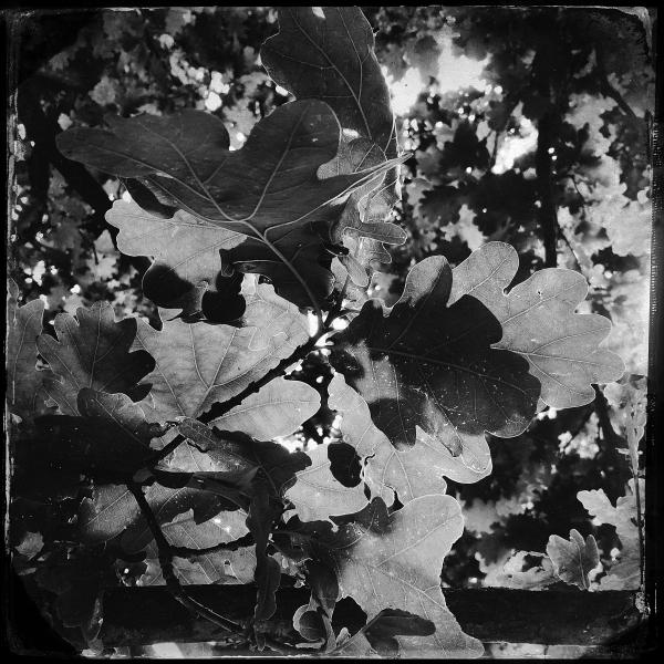 Oak Leaves_DxOFP